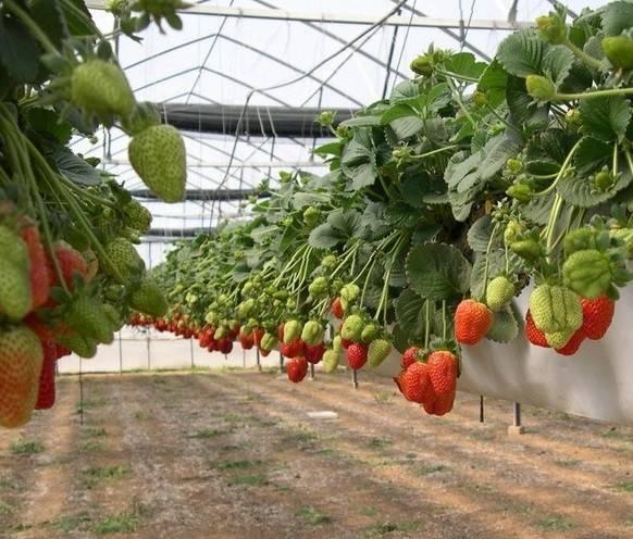 Выращивание клубники по голландской технологии в теплице