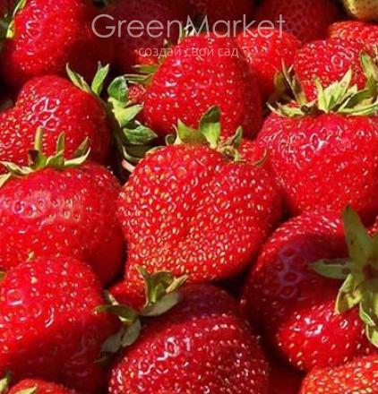Описание неприхотливого и высокоурожайного сорта клубники - маршал - общая информация - 2020