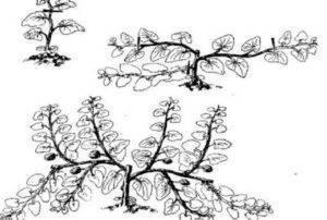 Как прищипывать тыкву в открытом грунте: схема формирования с видео