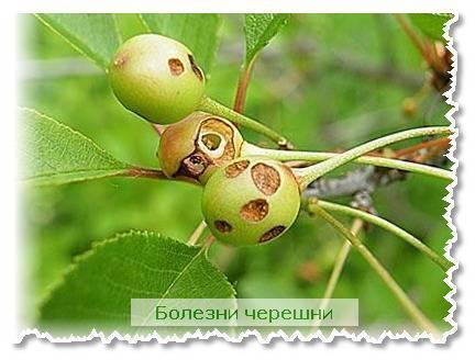 Как бороться с вишневой мухой: чем обработать черешню и вишню от вредителя, ловушки