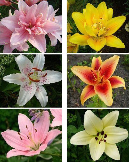 8 лучших сортов азиатских лилий