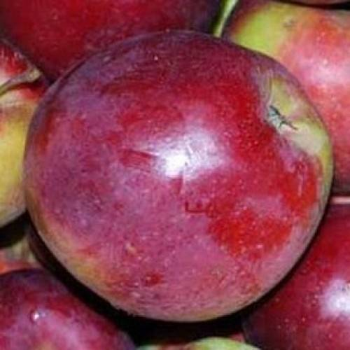Сорт яблони вишневое – описание, фото