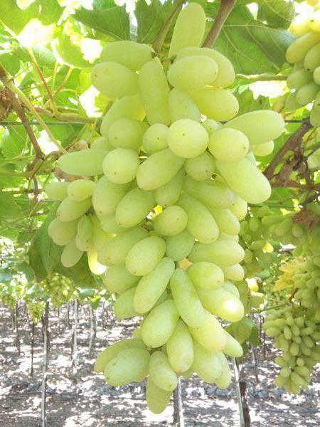 Виноград долгожданный описание сорта фото отзывы видео