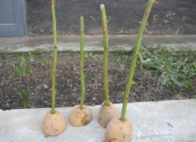 Размножение розы черенками. черенкование розы летом в грунте: пошаговая инструкция