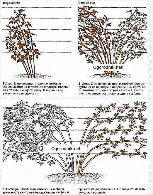 Особенности обрезки ежевики осенью: схема формирования куста для начинающих садоводов