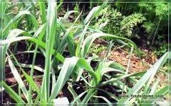 Лук порей сорта для сибири
