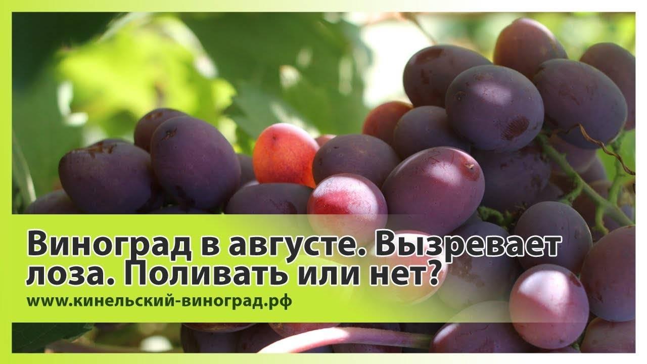 Что делать если виноград не плодоносит