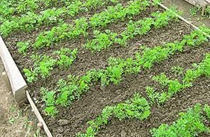 Популярно о выращивании моркови через рассаду: плюсы и минусы способа, порядок действий, советы огородникам