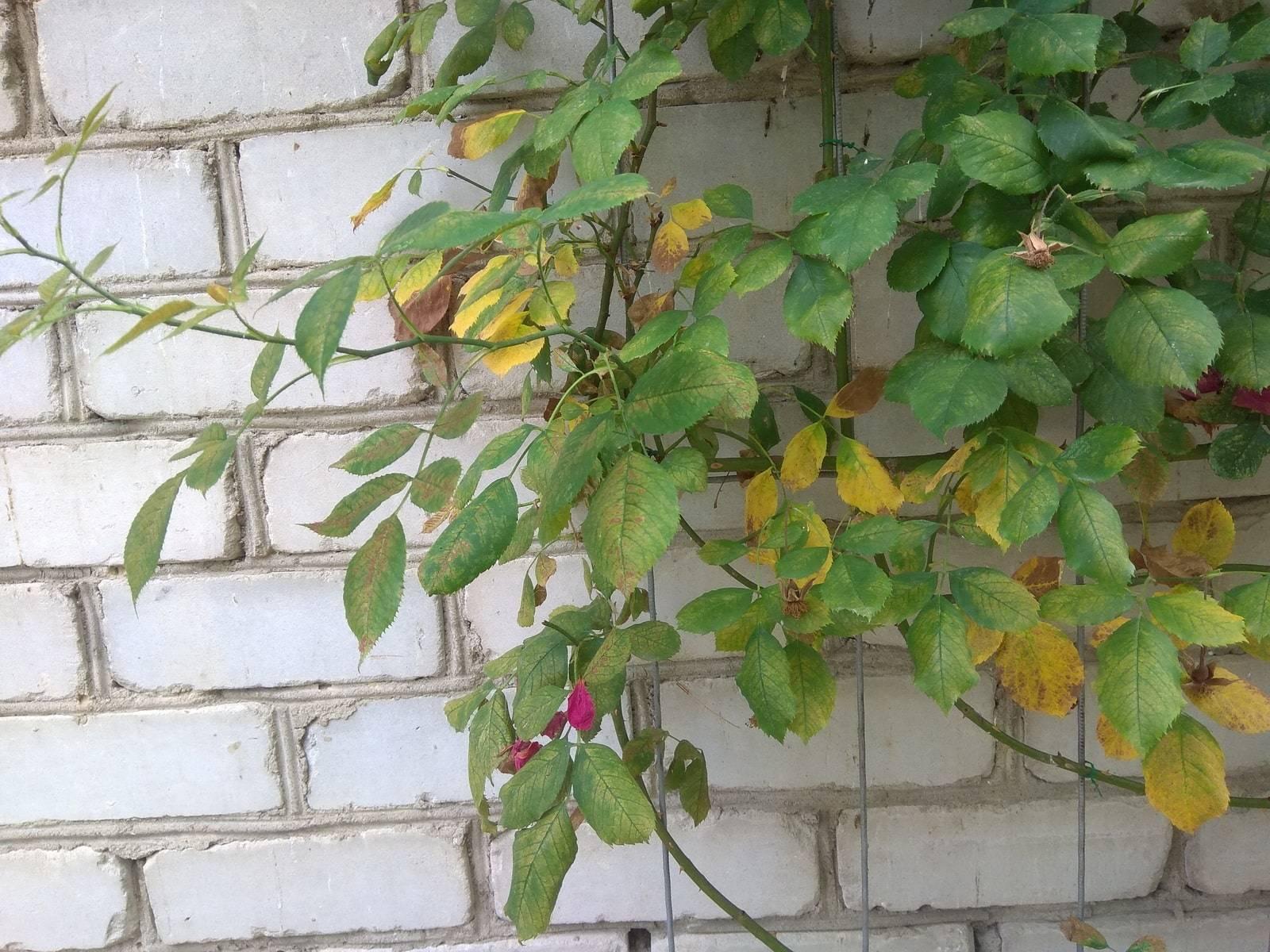 Клещ на розах: как избавиться от вредителя быстро и эффективно