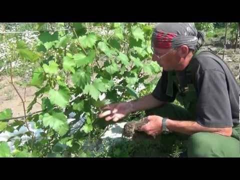 Почему опадает виноград