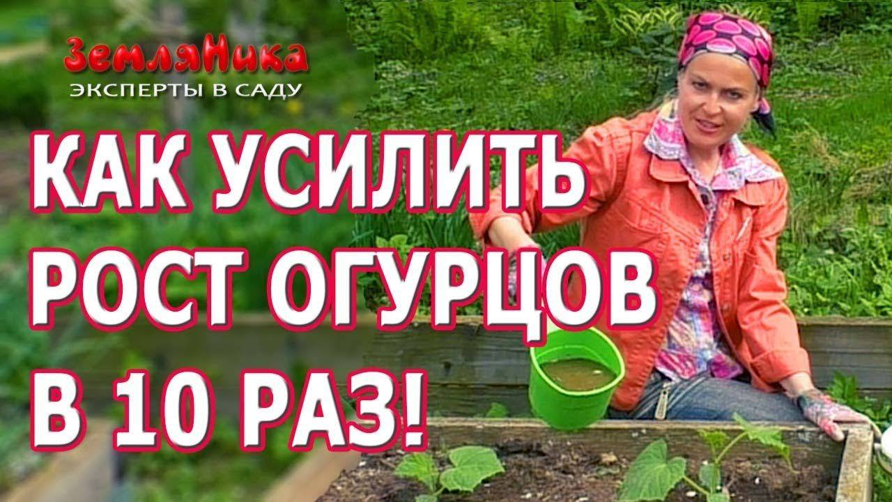 Проращивание семян огурцов — первый шаг к доброму урожаю