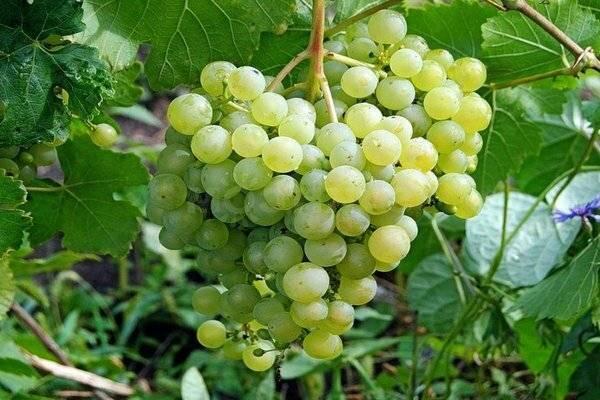 Сорт винограда «алёшенькин»