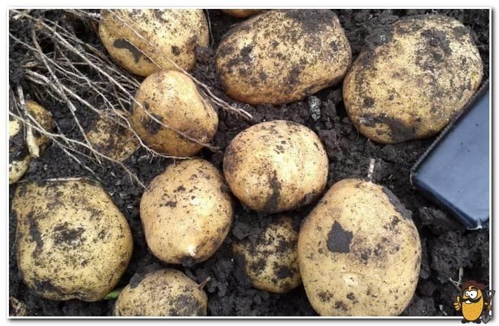 Картофель тулеевский: описание сорта, полезные свойства, отзывы