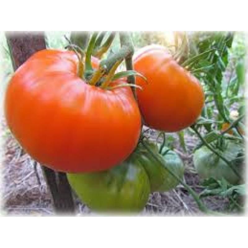 Томат алтайский оранжевый — описание и характеристика сорта