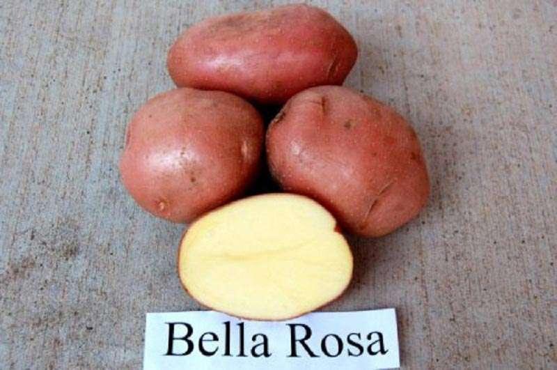 Сорт картофеля «беллароза»: характеристика, описание, урожайность, отзывы и фото