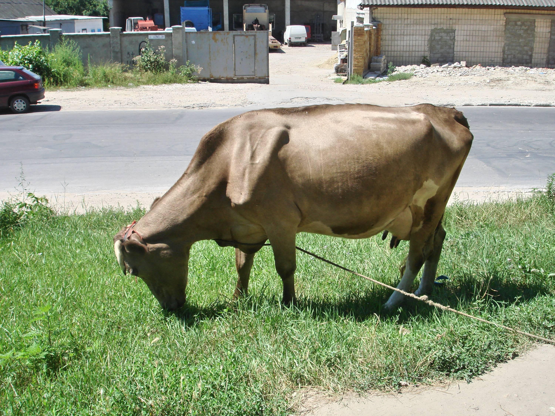 Тимпания рубца у коров: этиология, патогенез, симптомы, диагноз, прогноз, лечение, профилактика. что делать, если у теленка вздулся живот