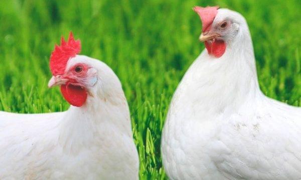 Минимясная порода кур - особенности породы и условия содержания