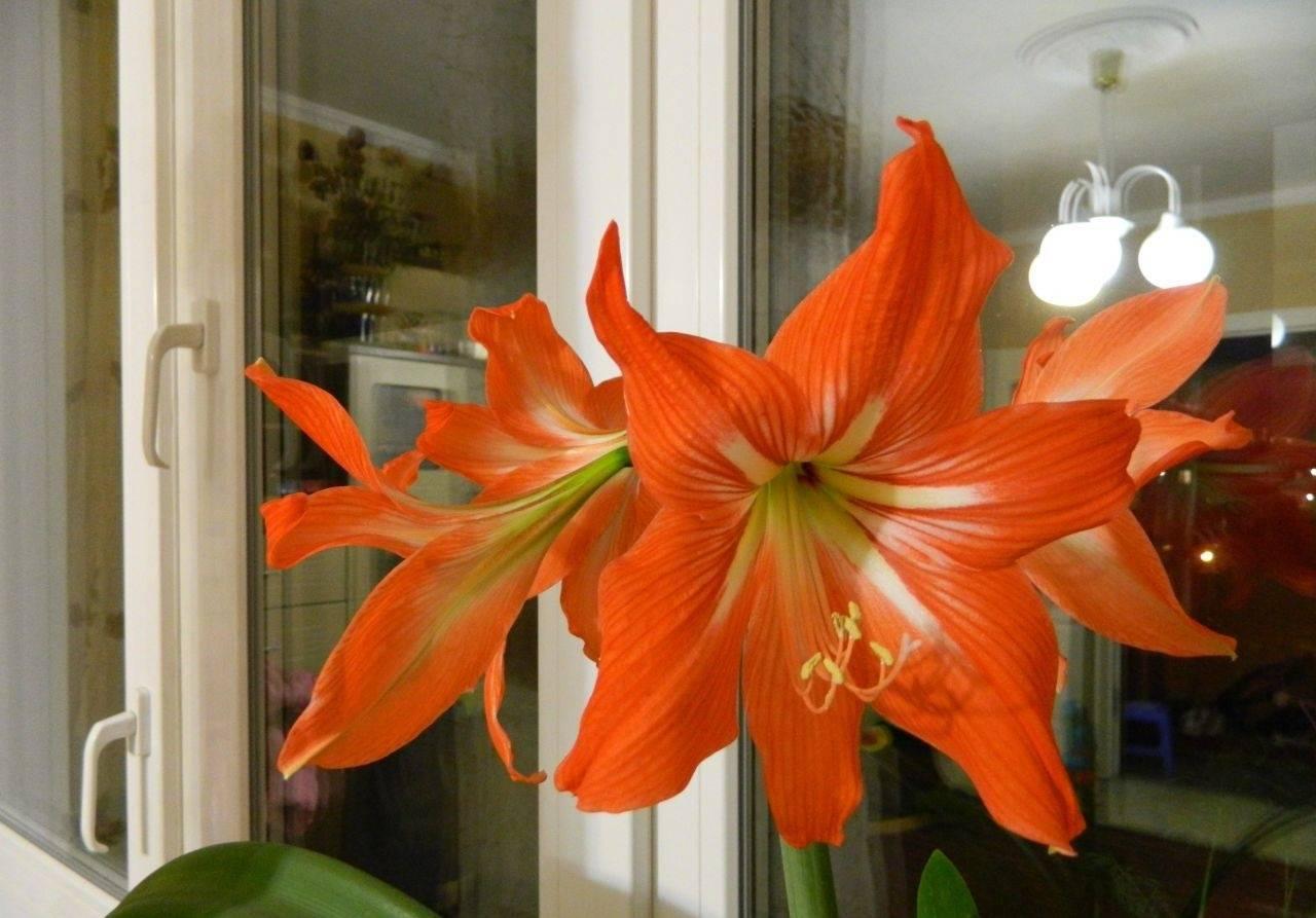 Особенности ухода в домашних условиях и в условиях открытого грунта за великолепной лилией