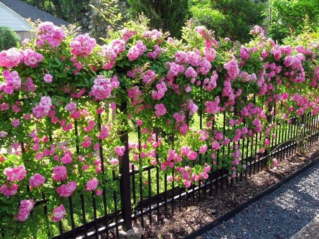 Особенности ухода за плетистой розой и ее разновидности