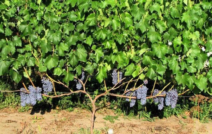 Виноград юпитер: характеристика и описание сорта