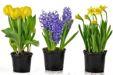 Гиацинт в горшочке - как сохранить растение после окончания цветения