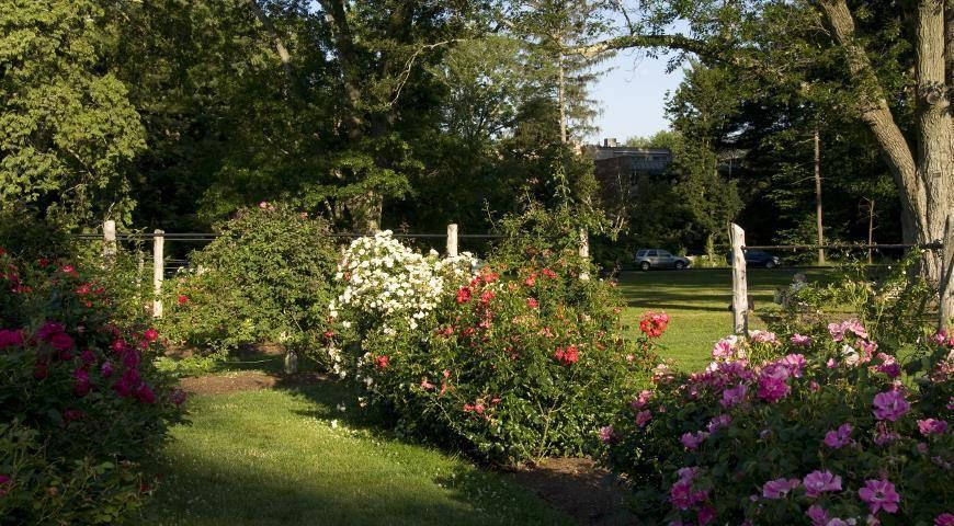 Как удалять отцветшие соцветия роз: 5 шагов
