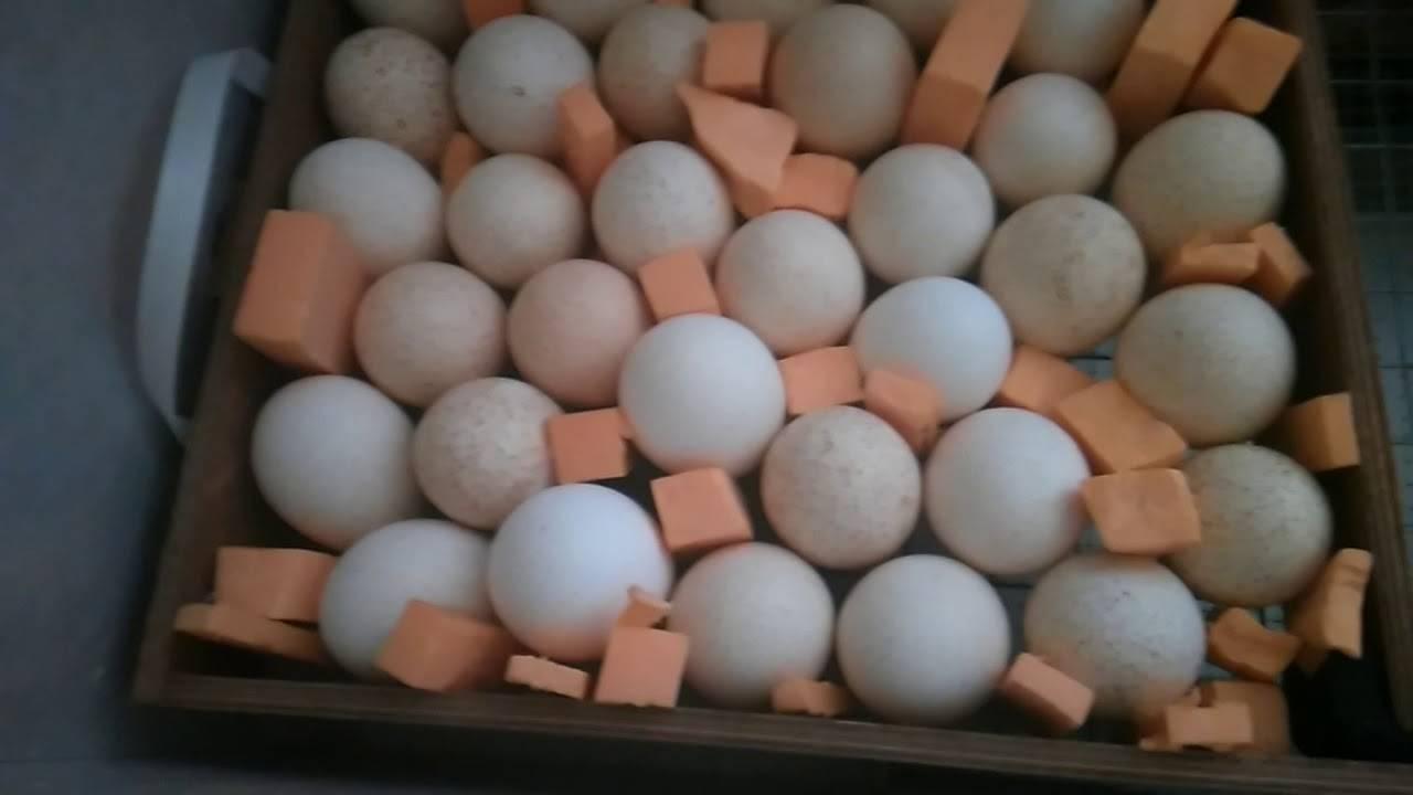 Как происходит инкубация яиц индюков?