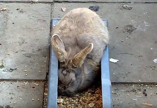 Можно ли кроликов кормить пшеницей