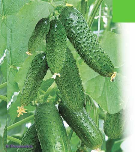 Особенности выращивания сорта огурцов «дружная семейка f1» , уход и сбор урожая