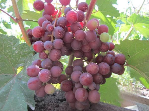 """Виноград """"мускат белый"""": описание сверхраннего сорта, его особенности и характеристики"""
