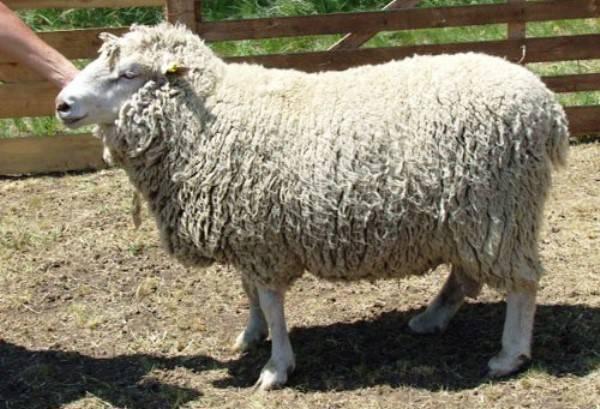 Меринос: характеристика породы овец и выращивание