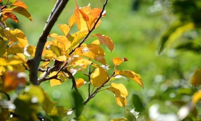 У груши скручиваются листья и чернеют: почему, что делать и как лечить