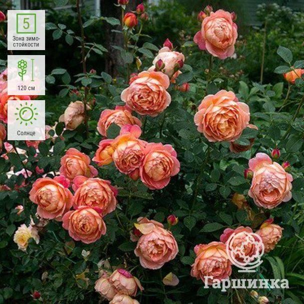 Роза леди оф шалот: описание и фото, особенности цветения, советы по уходу и размножению, болезни и вредители