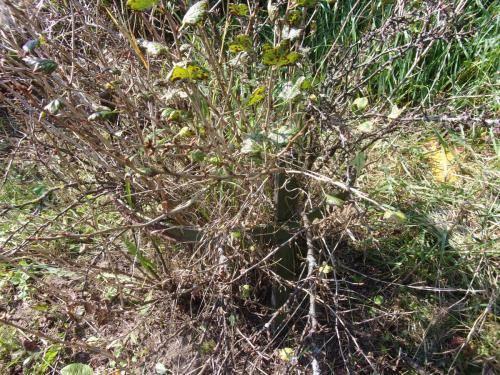Чем обработать смородину весной и летом от вредителей и болезней