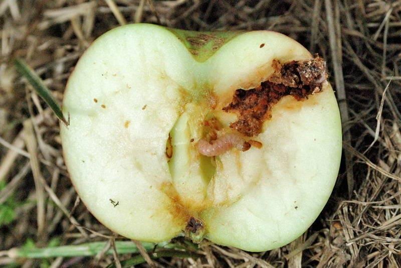 Чем обрабатывать яблони ранней весной от вредителей и болезней: советы, видео