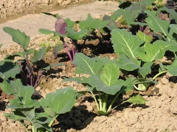 Капуста кольраби - выращивание и уход, секреты хорошего урожая