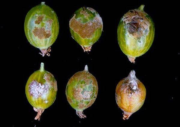Особенности обработки крыжовника весной от вредителей и болезней