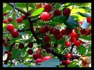 Сорта клубники в крыму: когда созревают, поспевают, как выращивать