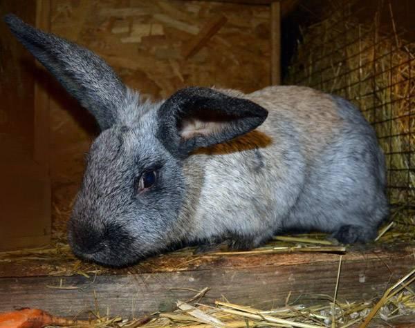 Определение симптомов геморрагической болезни у кроликов и способы её лечения