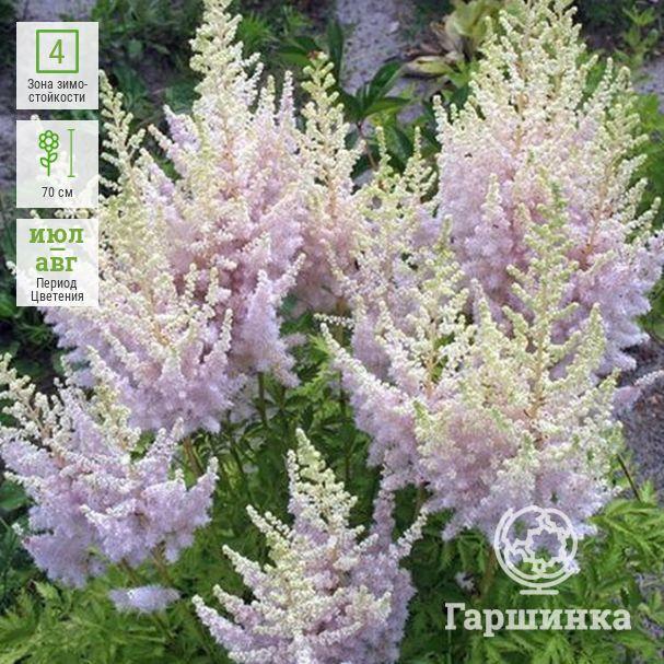 Астильба: самые красивые сорта и виды многолетних и однолетних цветов