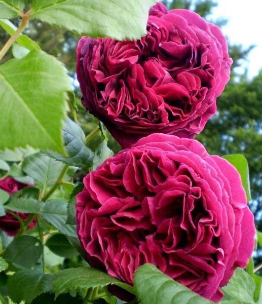 Роза фальстаф: посадка, уход, размножение сорта