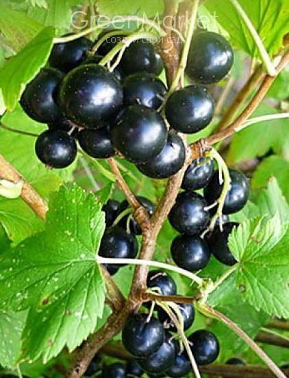 Разновидности черной смородины