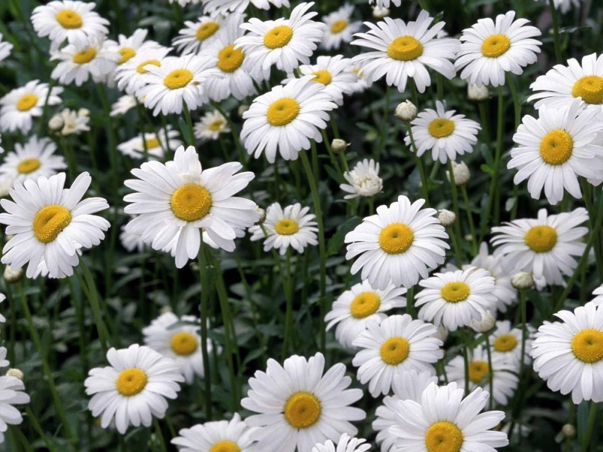 Ромашки цветки – инструкция по применению, цена, отзывы, аналоги