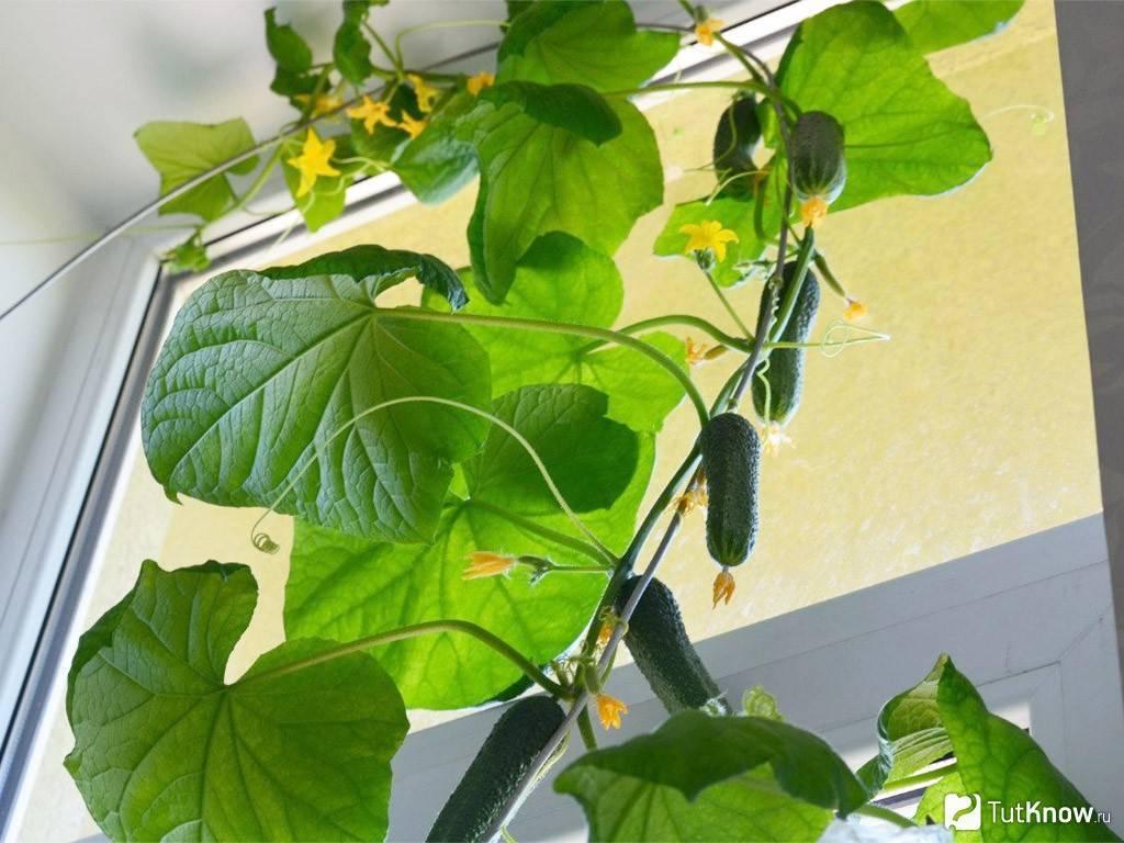 Выращивание огурцов в домашних условиях - как посадить огурцы на подоконнике и собрать хороший урожай (120 фото)