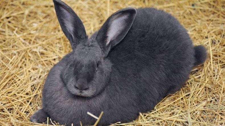 Половое созревание карликовых и декоративных кроликов