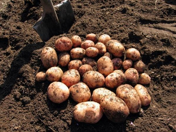 Сорт картофеля журавинка – описание, фото