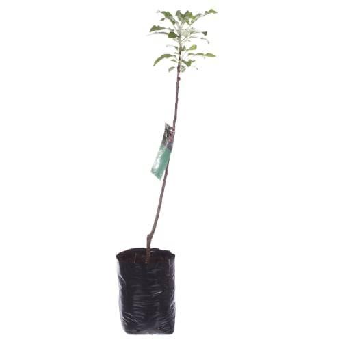 Особенности выращивания сорта колоновидной яблони васюган