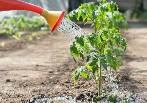 Какие растения будут хорошо расти после помидоров? можно ли сажать томаты, огурцы, капусту или перец?