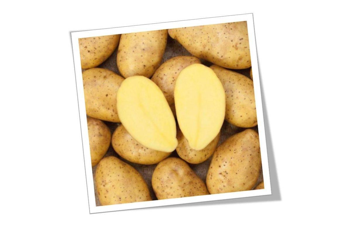 Картофель Лилли: описание семенного сорта картофеля, характеристики, агротехника