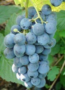Виноград саперави северный: описание сорта, характеристики и фото